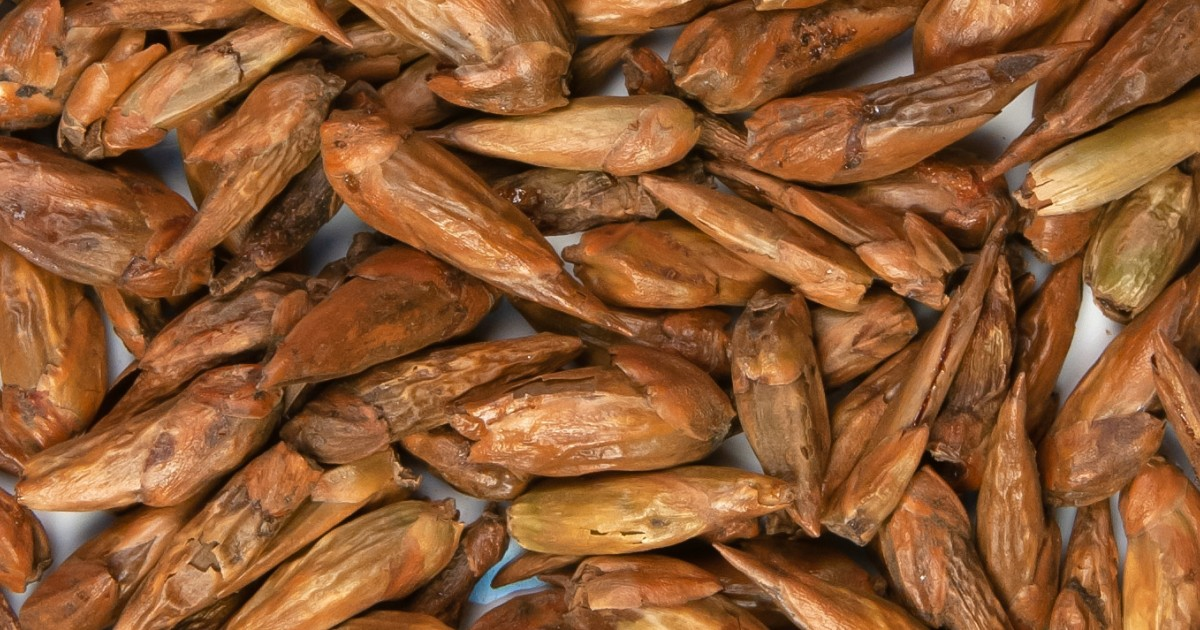 Balm of Gilead Buds