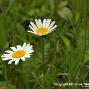 Garden Daisy Flower