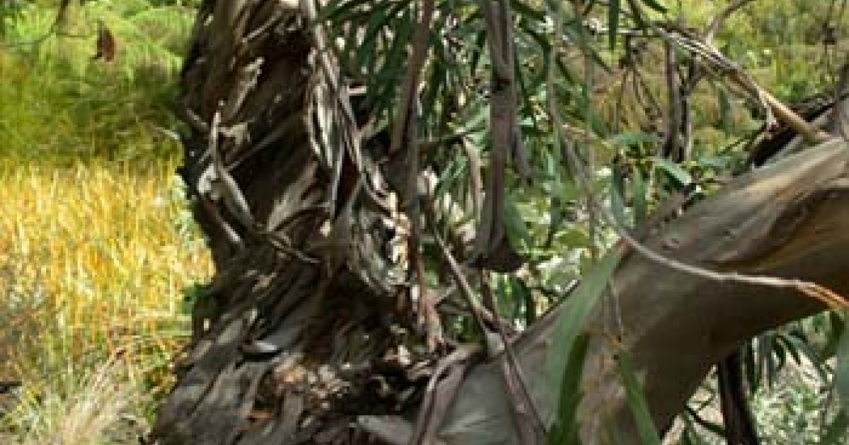 Eucalyptus - Pure Essential Oil
