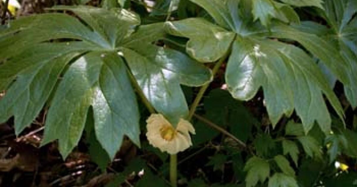 Mandrake, American