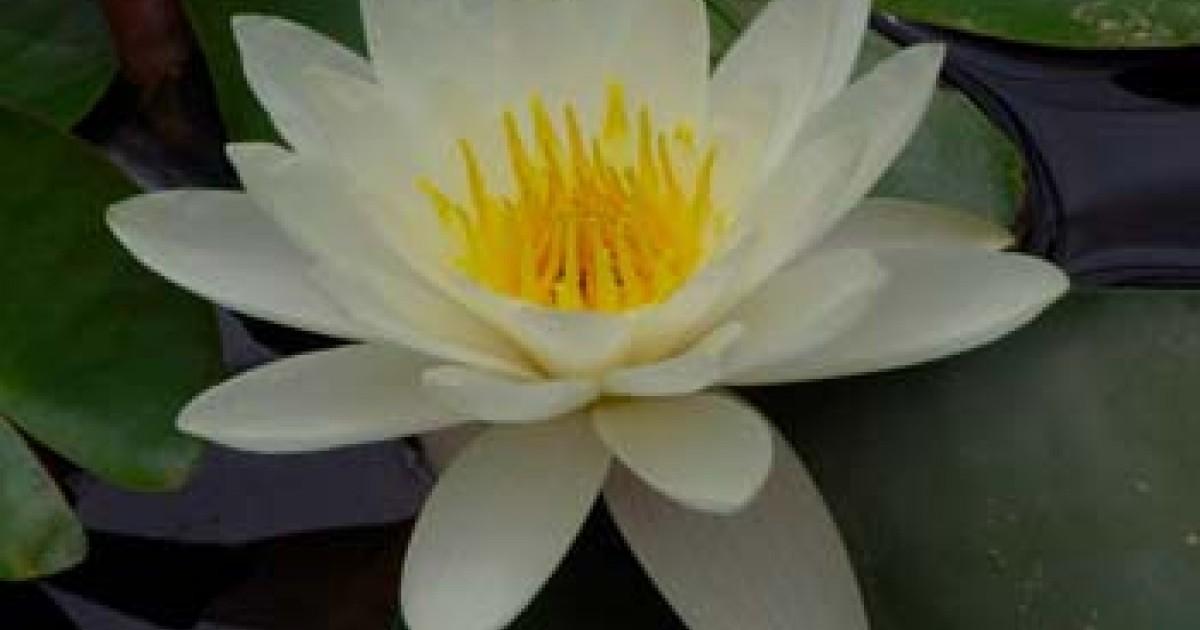 White Pond Lily