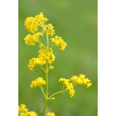 Lady's Bedstraw Herb