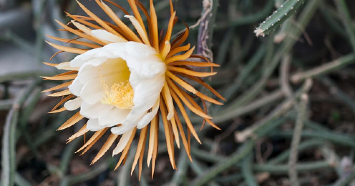 Cactus Flower, Cactus grandiflorus - Top Quality Herbs & Tinctures