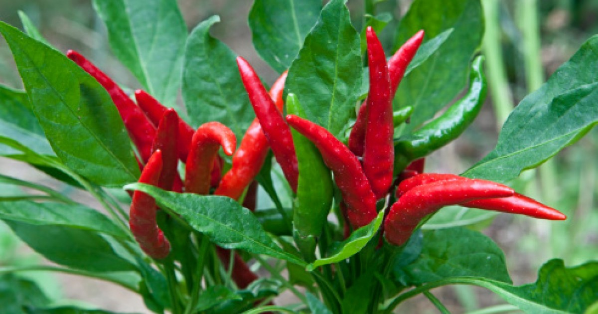 Chilli Pepper (African Whole)