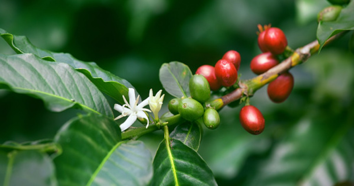 Coffee Beans, Green