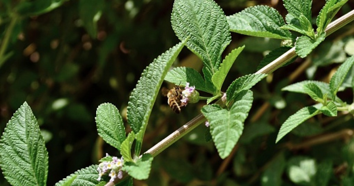Costmary