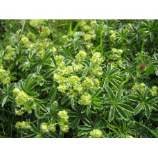 Lady's Mantle Silvery