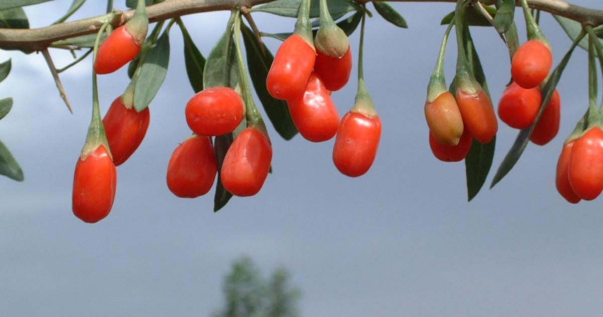 Lycii Berries