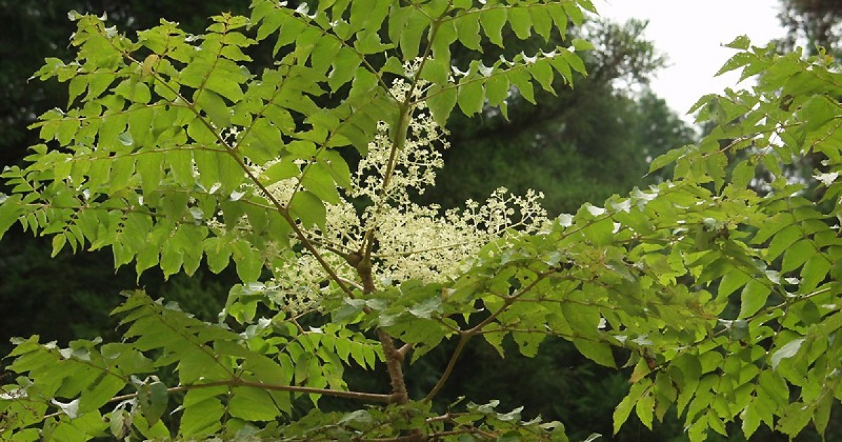 Manchurian Thorn Tree