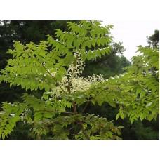 Manchurian Thorn Tree