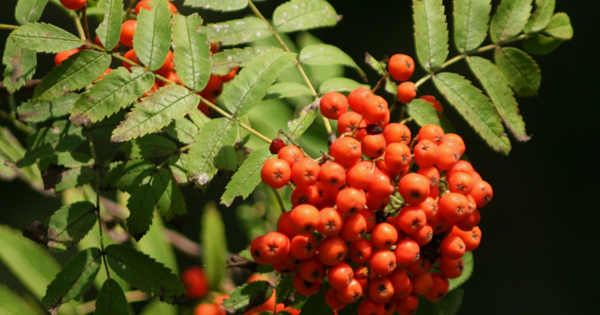 Mountain Ash Berry