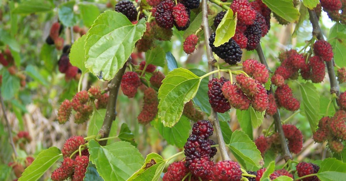 Mulberry, Black
