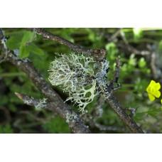 Oak Moss Lichen
