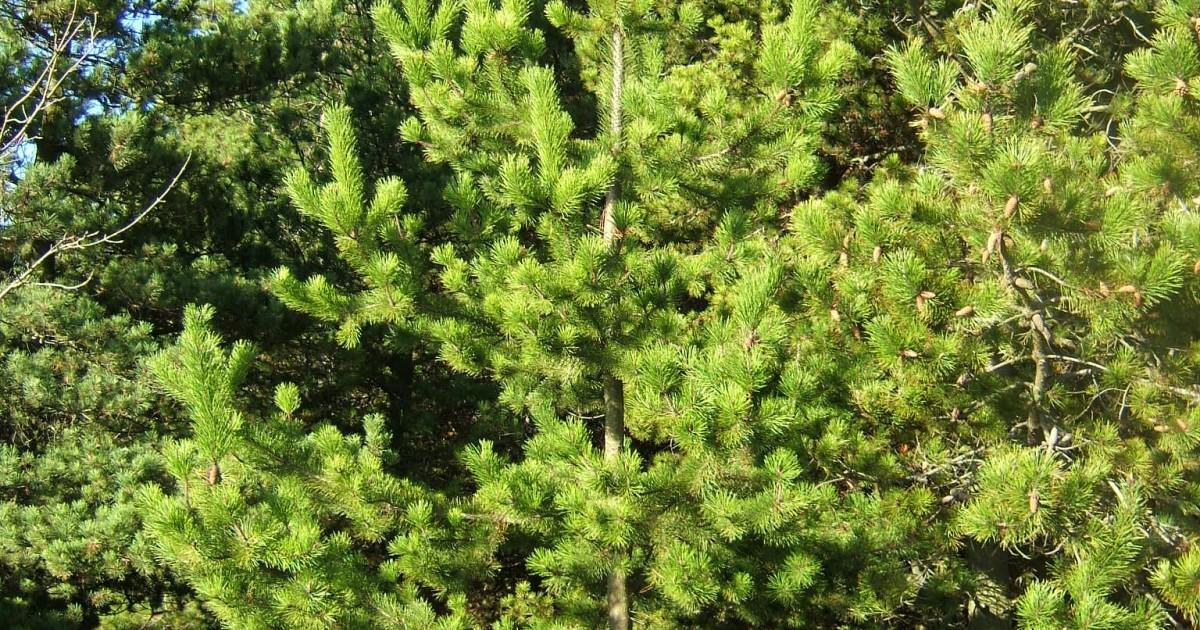 Pine, Lodgepole