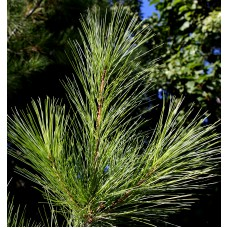 Pine, White