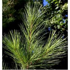 Pine, Wild