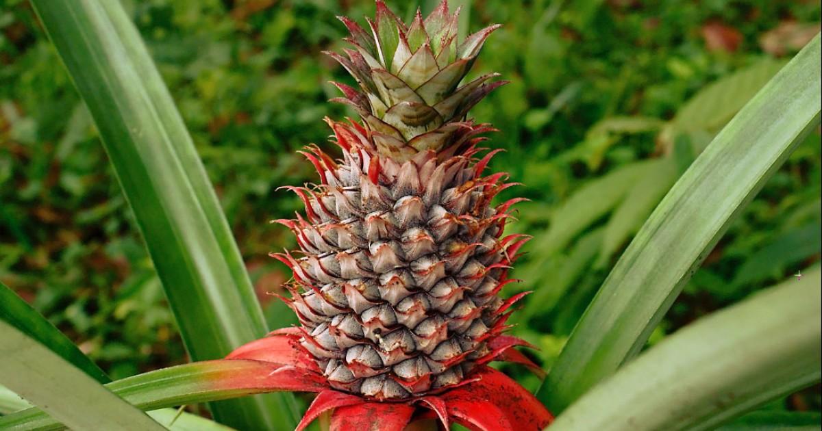Pineapple Fruit Juice