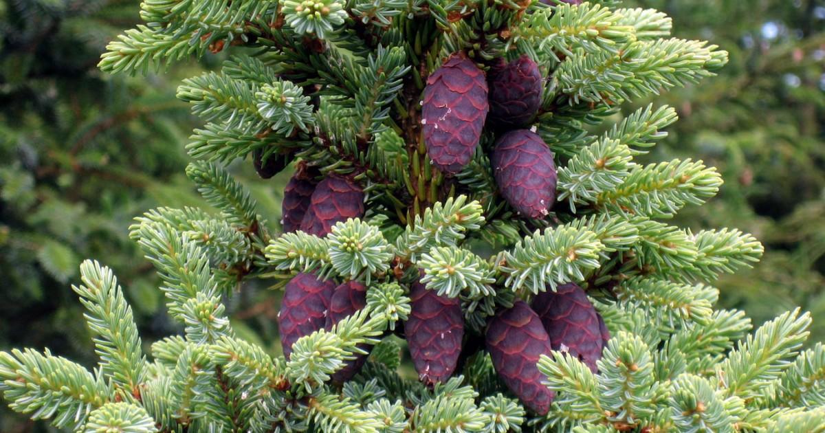 Spruce, Black