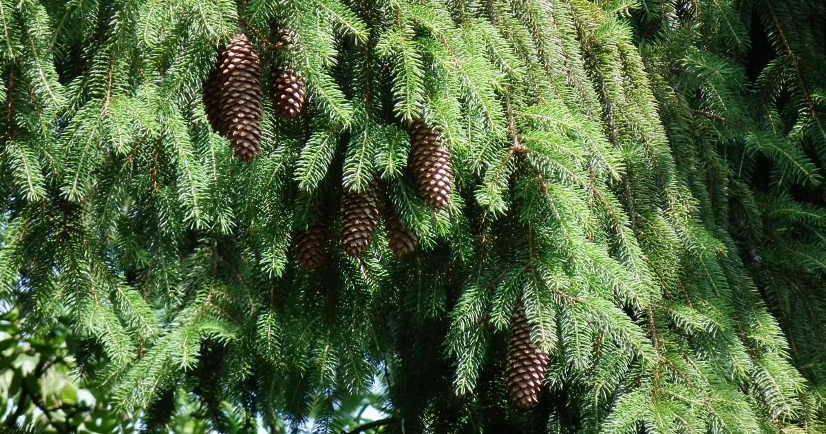 Spruce, Norway