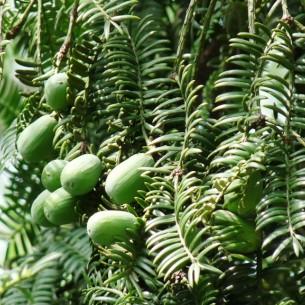 Torreya Nuts