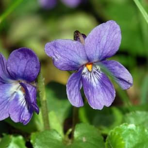 Violet, Blue